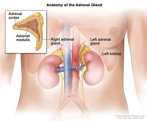 CDR739009 Anatomy Of The Adrenal Gland Winslow