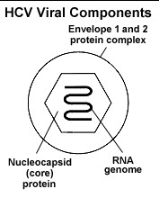 Illustration of the HCV Viral Components showing the envelope 1 and 2 protein complex with its nucleocapsid protein and the RNA genome.