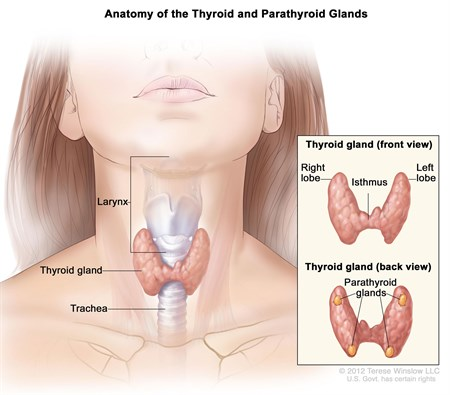 Anatomy Of Thyroid Gland - Winslow