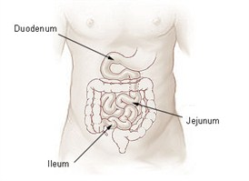 Illu_small_intestine