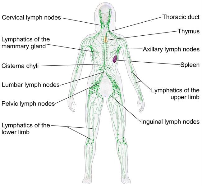 Department Of Surgery Lymphadenectomy